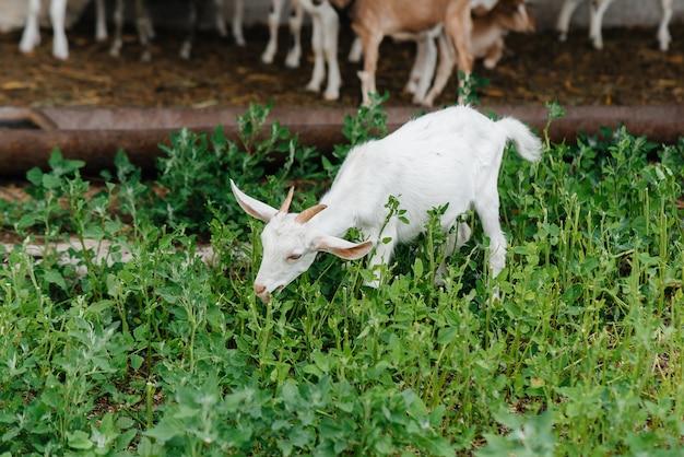 Weiden einer herde von ziegen und schafen im freien auf der ranch. rinderweiden, tierhaltung