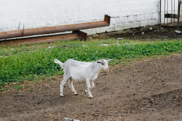 Weiden einer herde von ziegen und schafen im freien auf der ranch. viehweiden, tierhaltung. die zucht von rindern.