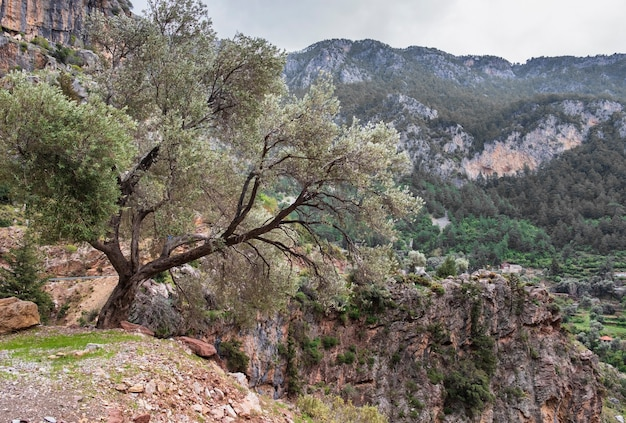 Weidenbaum auf den felsen vor dem hintergrund des dorfes faralya in der türkei
