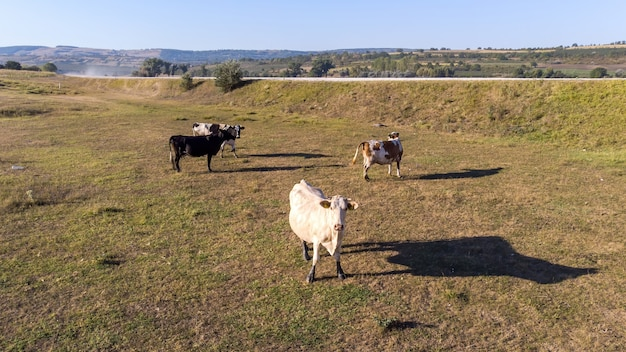 Weidende kühe auf dem feld