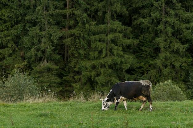 Weidende kühe. schwarze und weiße kuh, die auf der wiese in den bergen weidet. rinder auf einer weide