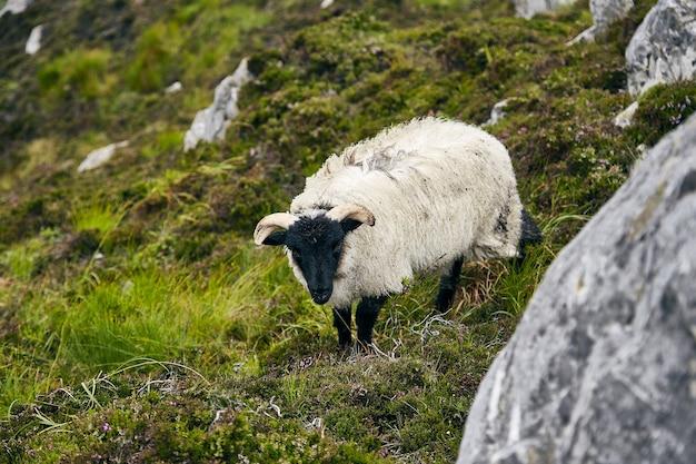 Weidende schafe in einem feld, das mit felsen und gras unter dem sonnenlicht im connemara-nationalpark bedeckt ist