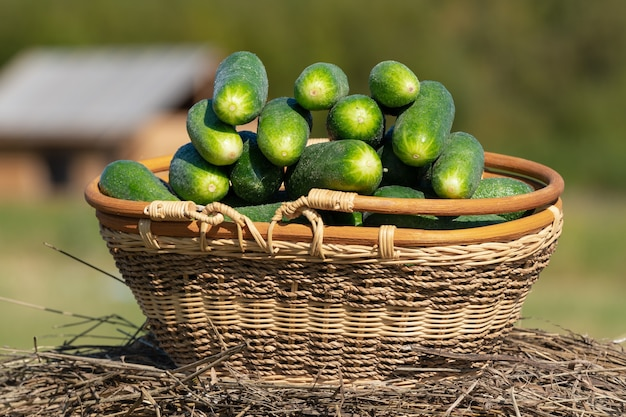 Weidenkorb mit frisch gepflückten bio-gurken auf dem hintergrund der ländlichen landschaft - holzhaus und wald auf dem bauernhof. sommer und frisch gesundes öko-gemüse auf landwirtschaftlichem bauernhof bei sonnigem wetter.