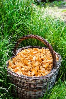 Weidenkorb mit wilden pilzpfifferlingen auf gras