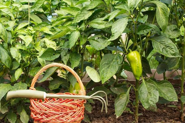 Weidenkorb und handrechen mit büschen von paprika auf einem hintergrund.