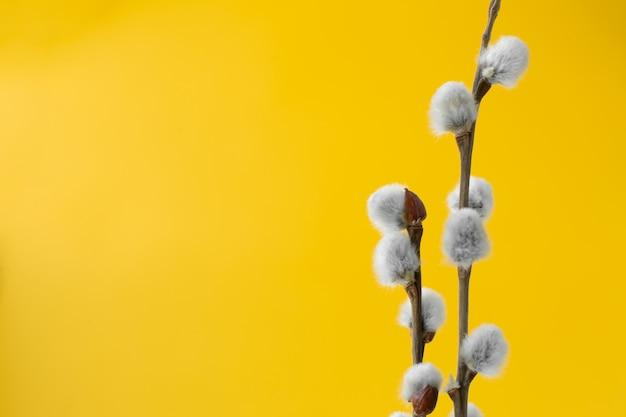 Weidenniederlassungen mit den flaumigen grauen knospen auf gelb. ostern-konzept