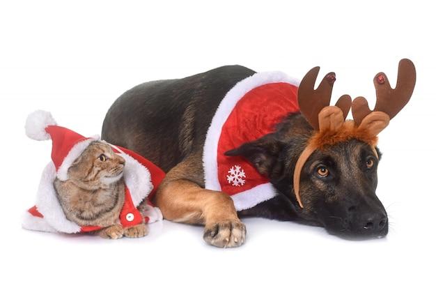Weihnachten malinois und katze