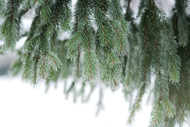 Weihnachten, winter mit eisiger kiefer, tannenbaum. schöne saisonale kulisse