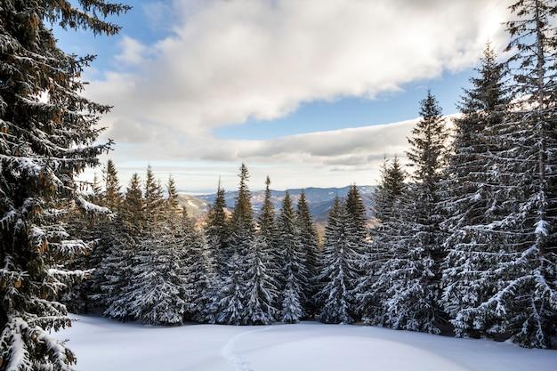 Weihnachten winterlandschaft. die schönen hohen tannenbäume, die mit schnee und frost auf berghang bedeckt wurden, beleuchteten