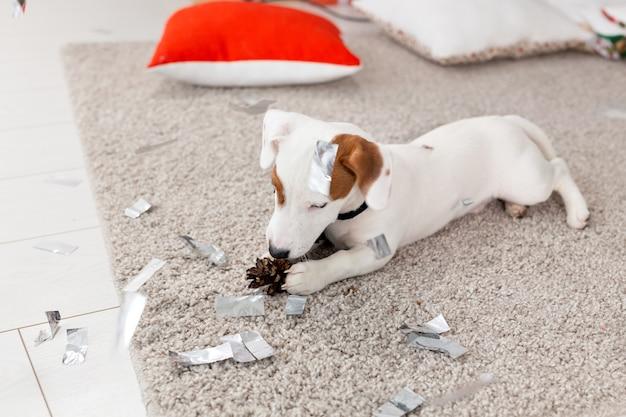 Weihnachts- und haustierkonzept - jack-russell-terrier-welpe knabbert an einer tanne.