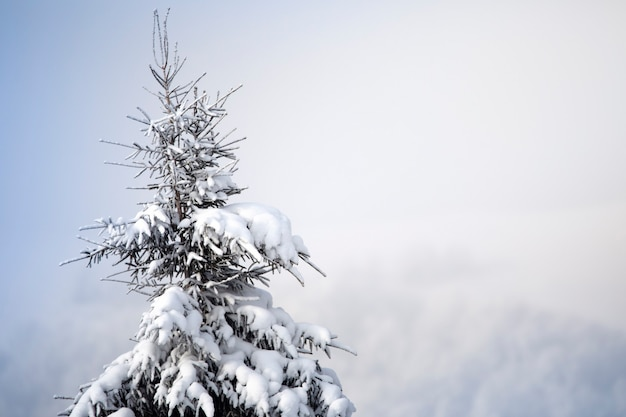 Weihnachtsbaum im schnee und raureif, reife zapfen hängen an den zweigen. selektiver fokus.