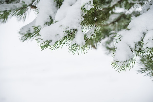 Weihnachtsbaumzweige im schnee. winterlandschaft mit schneebedeckten bäumen und schneeflocken. weihnachtskonzept mit platz für text