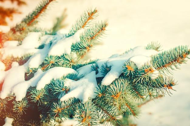 Weihnachtsbaumzweige. weihnachtsbaum im schnee an einem sonnigen tag. der anfang von spri