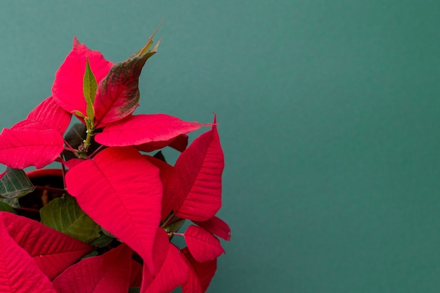 Weihnachtsblumen weihnachtsstern auf grünem hintergrund