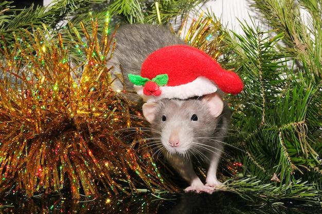 Weihnachtsgraue ratte auf dem hintergrund eines natürlichen weihnachtsbaums.