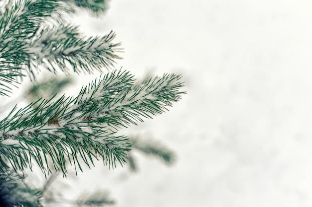 Weihnachtshintergrund. zweige eines weihnachtsbaumes zwischen weißen reben mit kopienraum