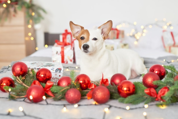 Weihnachtshund jack russell auf dem bett im dekor des neuen jahres