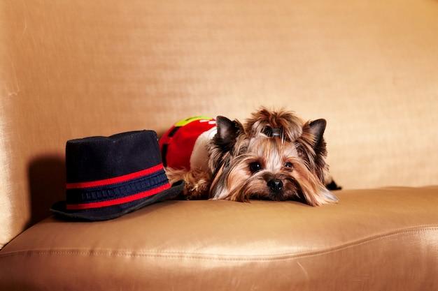 Weihnachtshund - yorkie-hund, der sankt auf dem sofa trägt