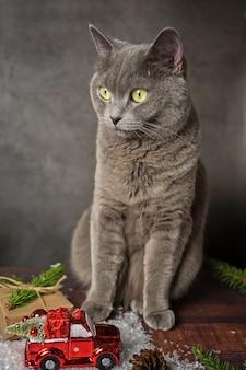Weihnachtskatze. porträt einer grauen niedlichen katze des schottischen rassenschritts, sitzend auf einem holztisch auf einem grauen hintergrund.