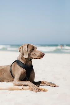 Weimaraner hund, der im sand am strand entspannt