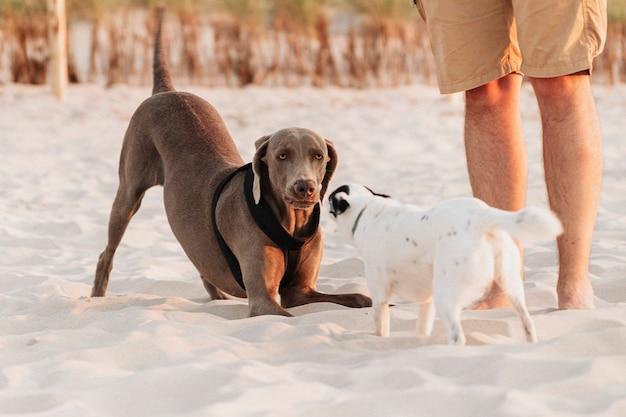 Weimaraner und jack russell terrier spielen zusammen am strand