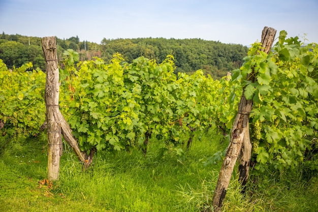 Wein weinberge junge weinbüsche der traubenplantage in prag stadt tschechien