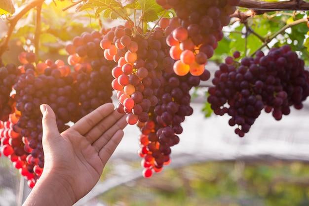 Weinberg mit reifen trauben zum verkauf bereit