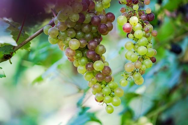 Weinberg mit weißen weintrauben in der landschaft, hängen sonnige weintrauben an der rebe
