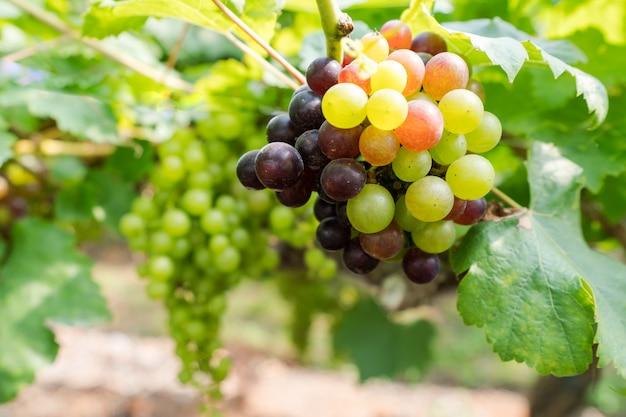 Weinberg mit weißweintrauben in der landschaft, sonnige weintrauben hängen an der rebe