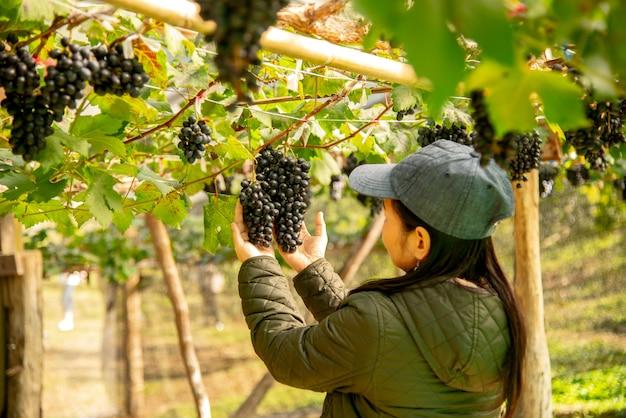 Weinberg-mitarbeiter prüfen qualitätsweintrauben in der lieferung.