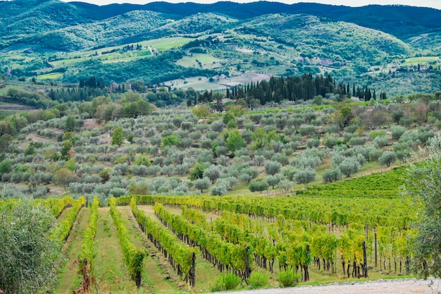 Weinberg- und olivenlandschaft der toskana, italien