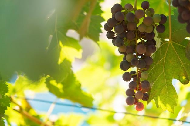 Weinberg und trauben