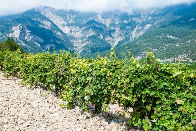 Weinbergbüsche auf plantage reifen an klaren tagen vor dem hintergrund von bergen und felsen