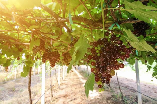 Weinberge bei sonnenuntergang in der herbsternte reife trauben