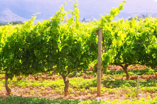 Weinbergplantage am sonnigen tag