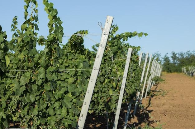 Weinbergplantage im sommer. grüne wachsende rebe, die von büschen gebildet wird.