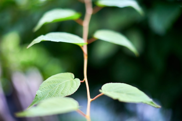 Weinblätter im weinberg. grüne weinblätter am sonnigen september-tag. bald herbstlese von trauben zur herstellung von wein, marmelade, saft, gelee, traubenkernextrakt, essig und traubenkernöl.