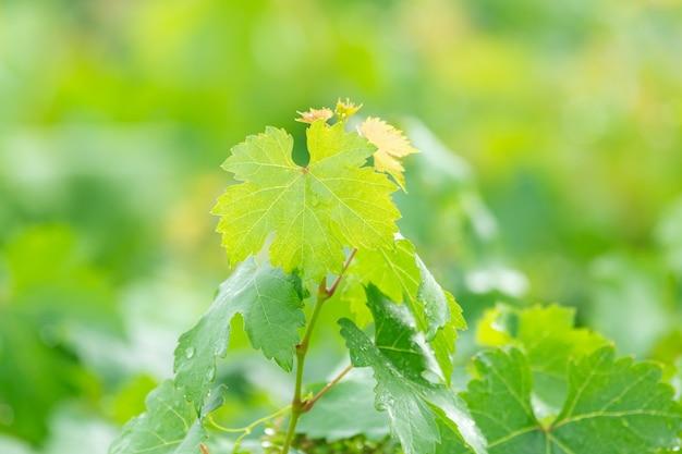 Weinblätter oder trauben verlassen