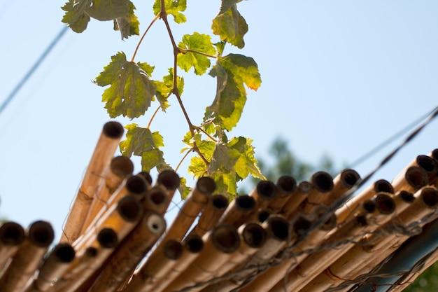 Weinblätter und bambussprossen