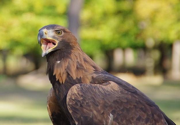 Weinen raptor vogel nahe eagle bill goldenen adler