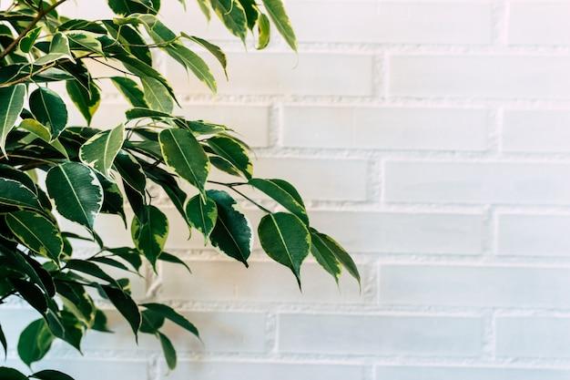 Weinender feigen- oder ficus-benjamin-plan auf einem weißen ziegelsteinhintergrund.