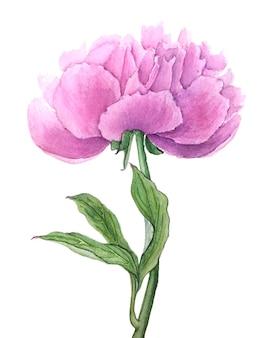 Weinlese-aquarellpfingstrosenblume lokalisiert