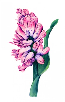 Weinlese-hyazinthenblumenaquarell botanische illustration
