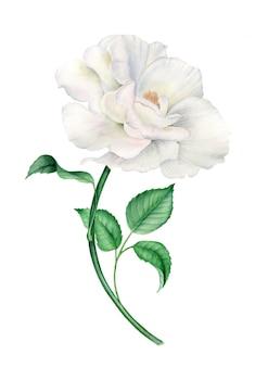 Weinlese realistische weiße rose botanische aquarellillustration