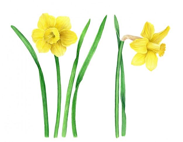 Weinlese-sammlung der botanischen illustration des gelben narzissenaquarells