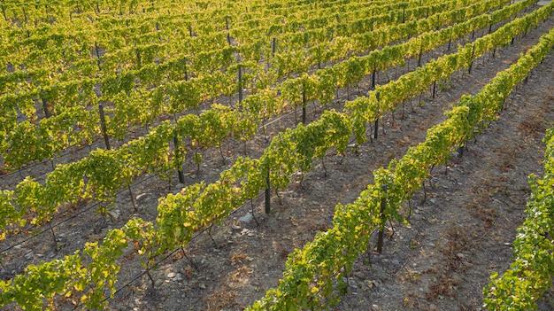 Weinplantagen auf großen flächen