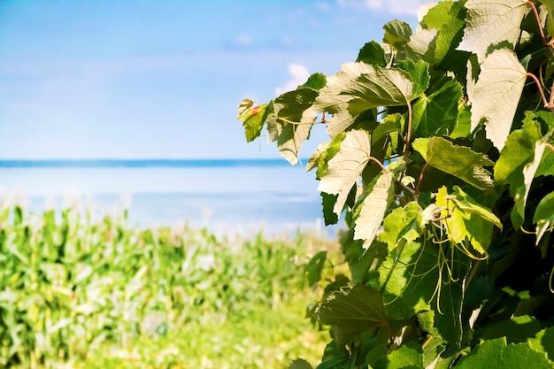 Weinrebe auf blauem himmel und meereshintergrund. natürlicher hintergrund.