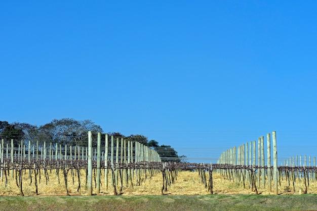 Weinrebenplantage in der ruhezeit