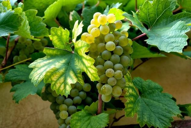 Weinstock trauben weintrauben weinbau