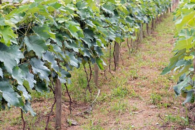 Weinstocknahaufnahme in der phase des blattwachstums